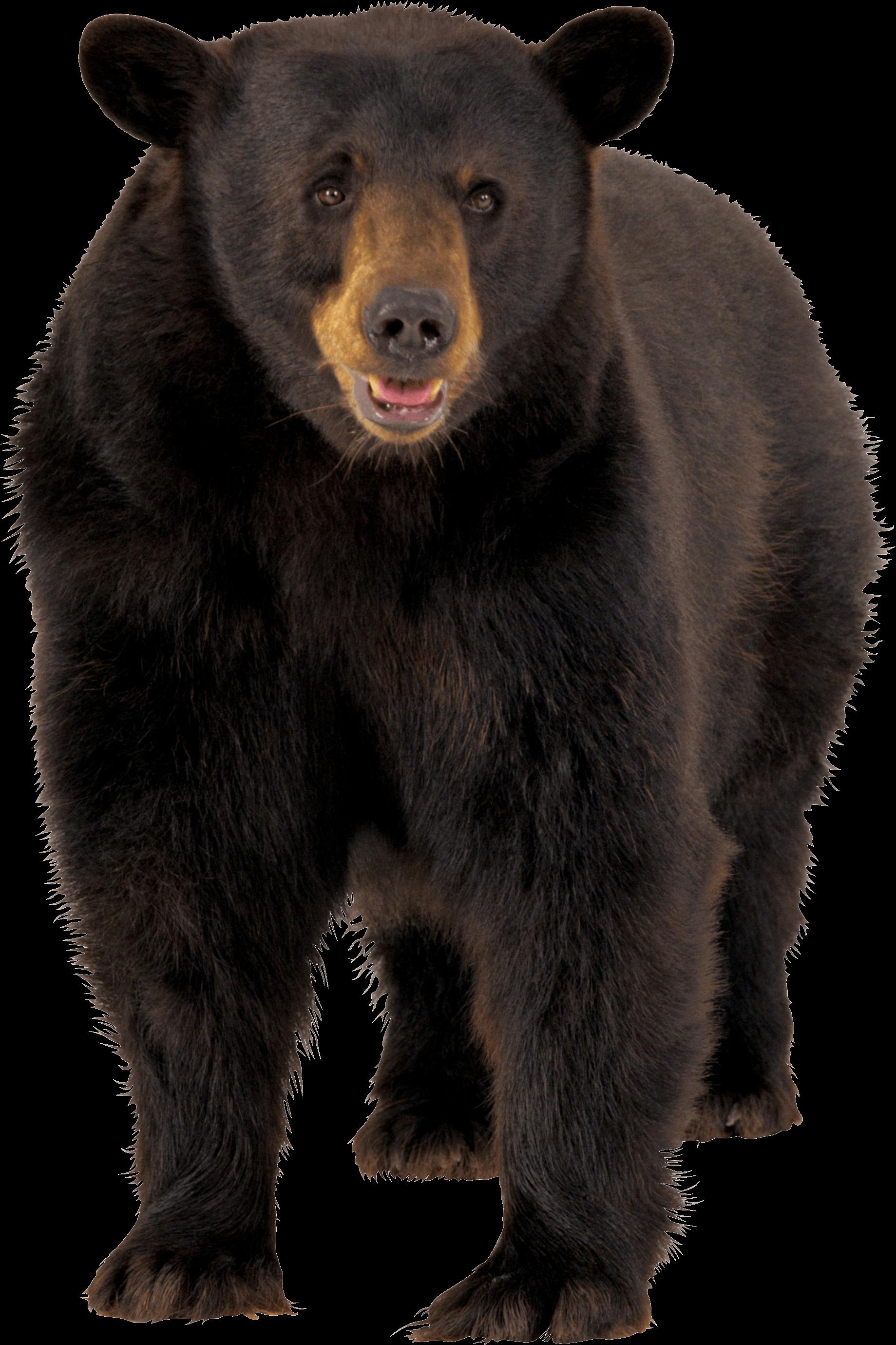 Bear transparent. Large brown png stickpng