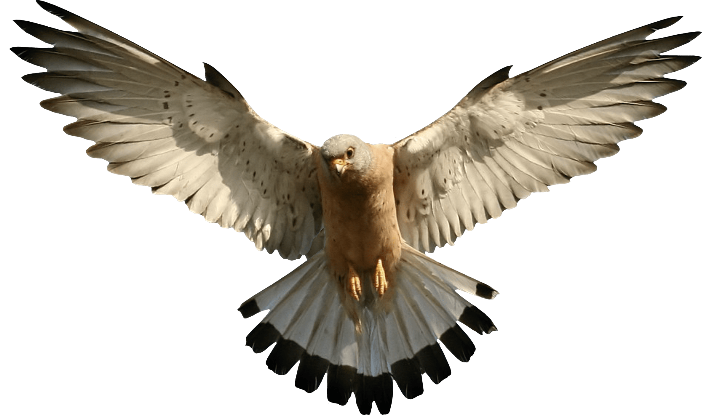 Falcon Flying transparent PNG - StickPNG