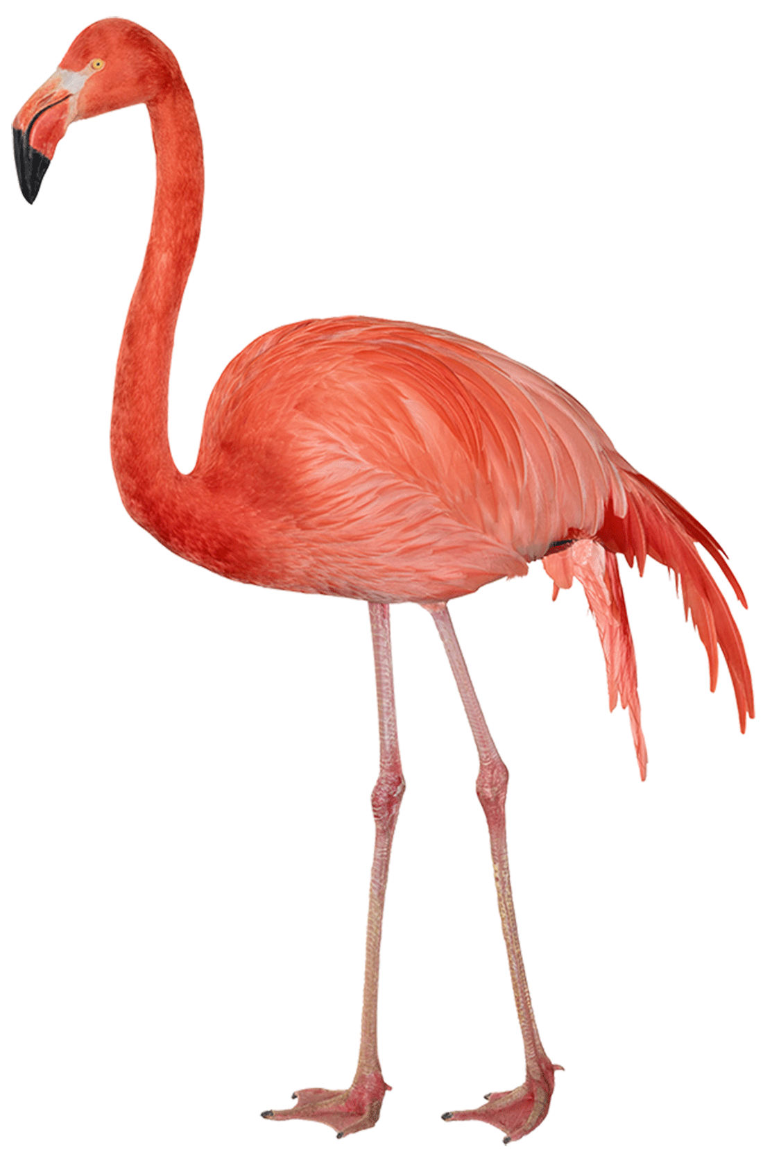 Download Flamingo Sideview transparent PNG
