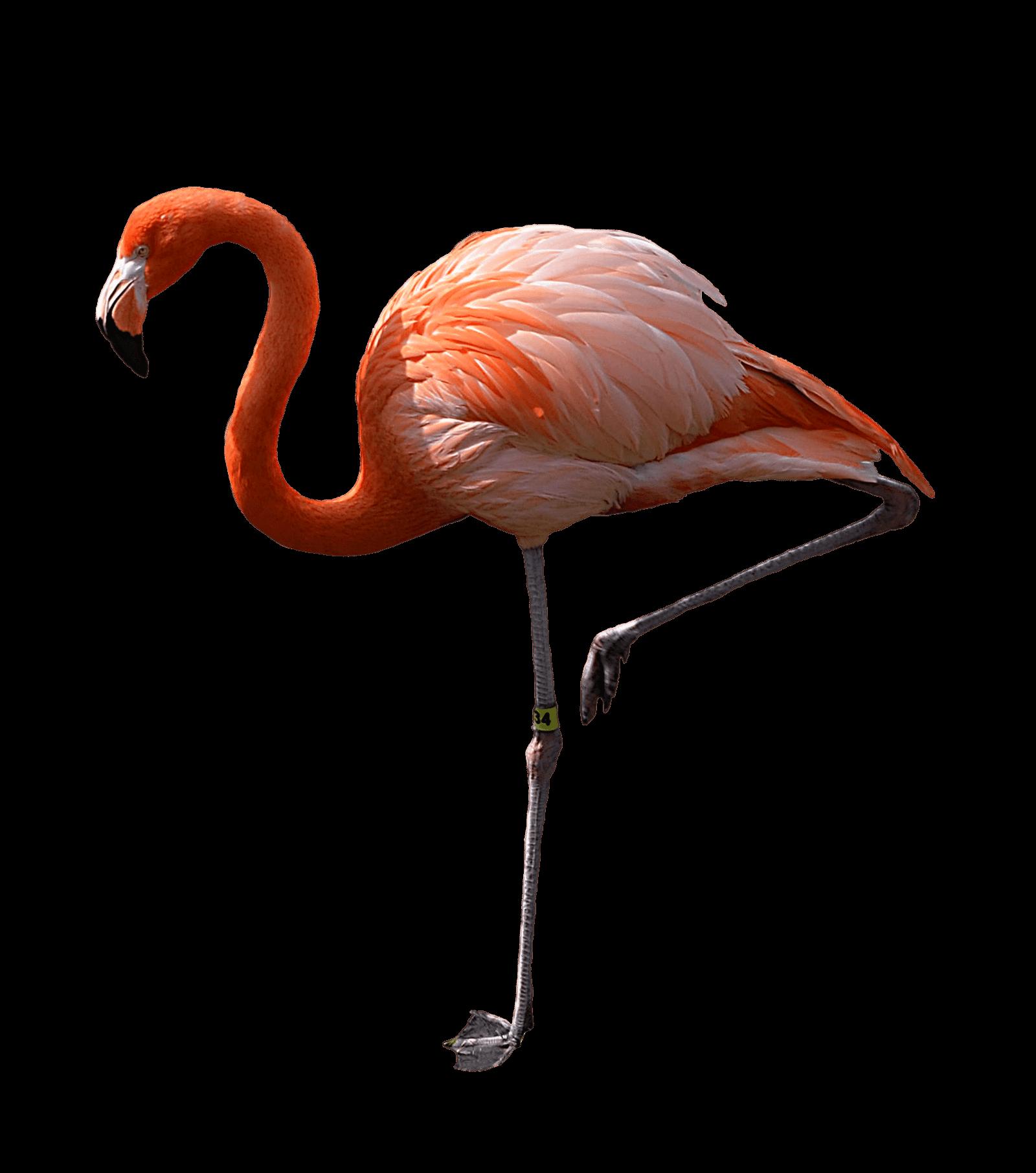 real flamingos on one leg