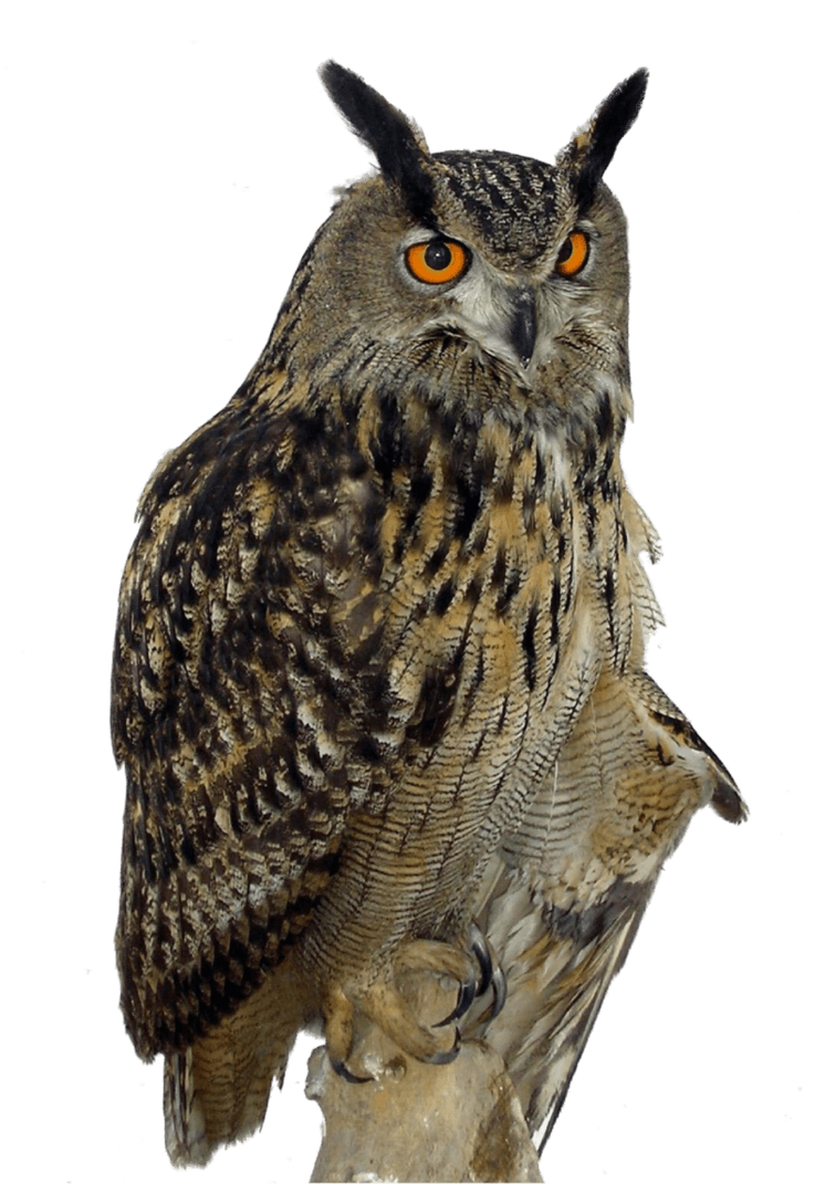 Owl Right transparent PNG - StickPNG
