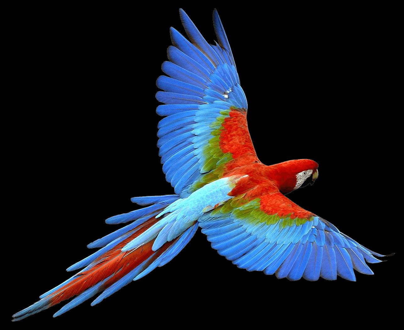 Flying Parrot Red Blue transparent PNG - StickPNG