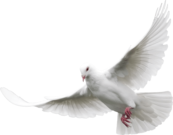 Dove transparent PNG - StickPNG