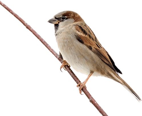Sparrow On Branch transparent PNG