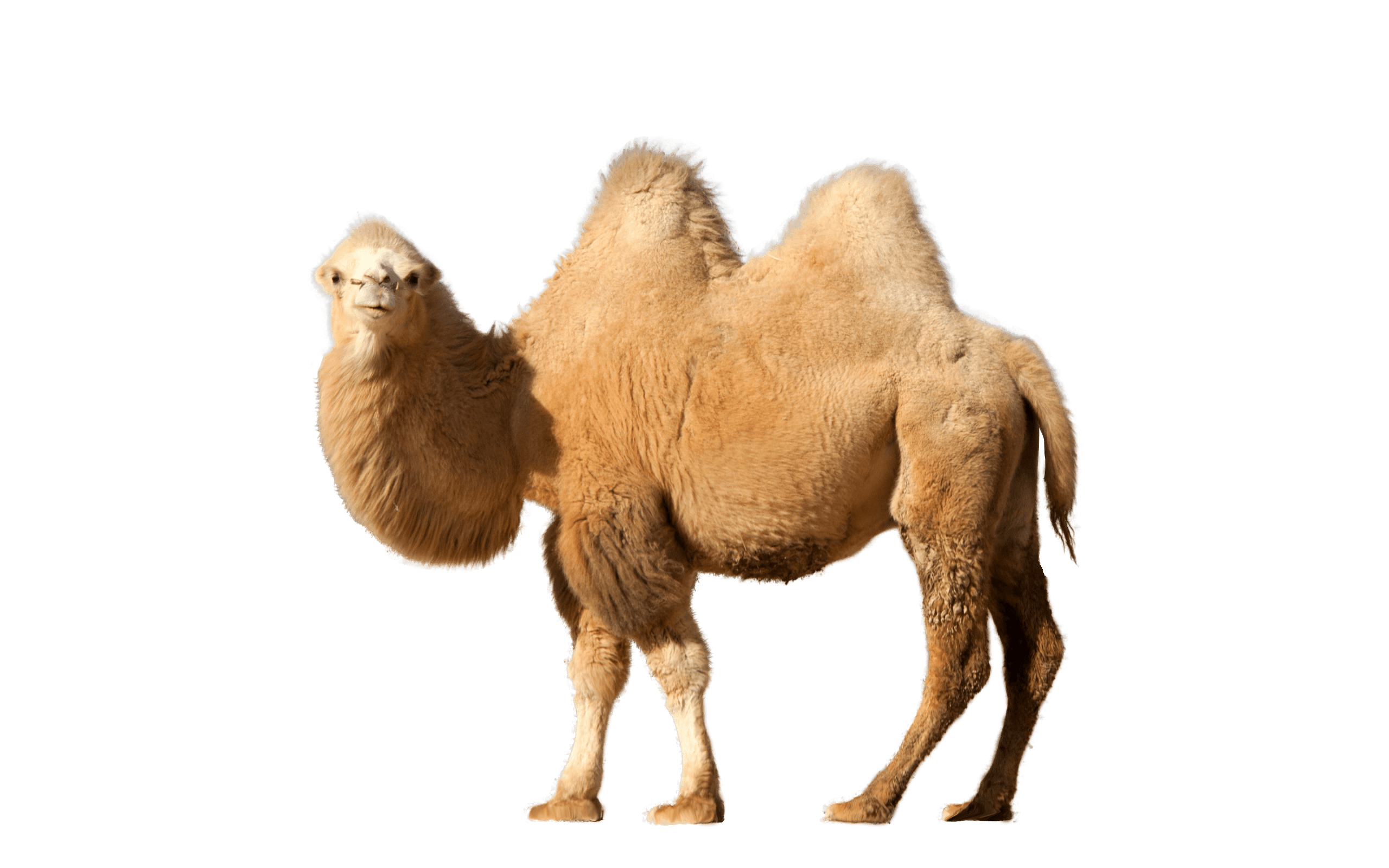 camel single transparent png stickpng