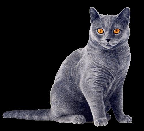 cat blue transparent png stickpng