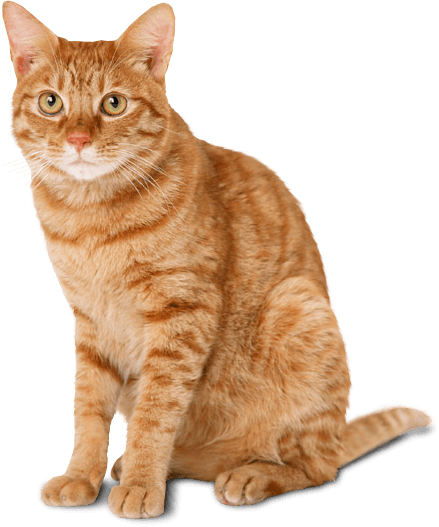 Cat Ginger transparent PNG , StickPNG