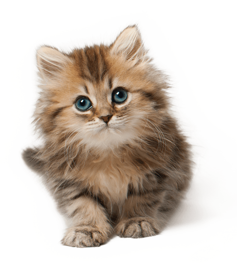 Cat Kitten Cute transparent PNG StickPNG