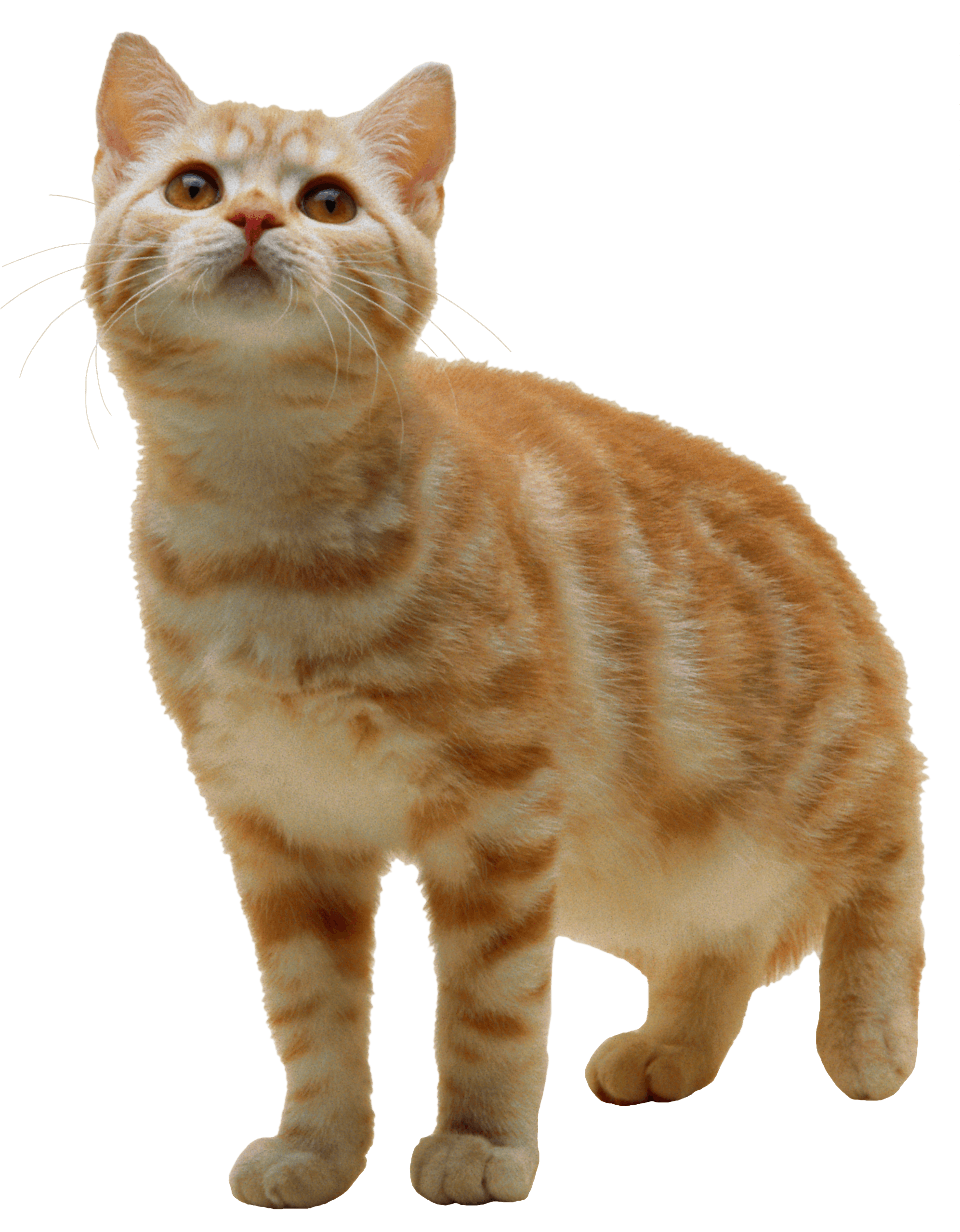 Cat Kitten transparent PNG - StickPNG