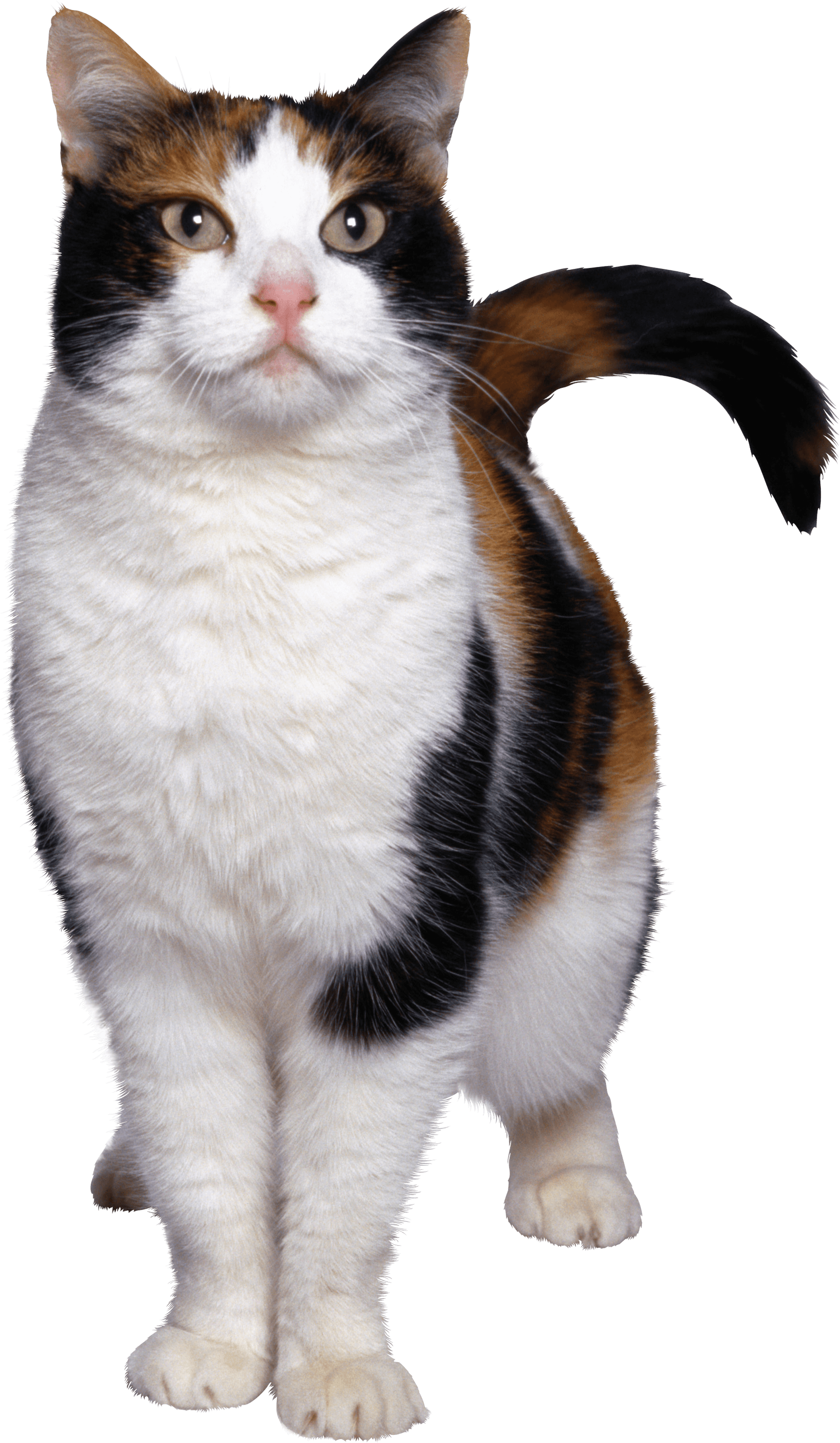 Cat Looking White Brown transparent PNG - StickPNG