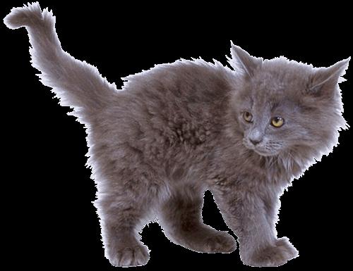 d2c3709438f Grey Kitten Cat transparent PNG - StickPNG
