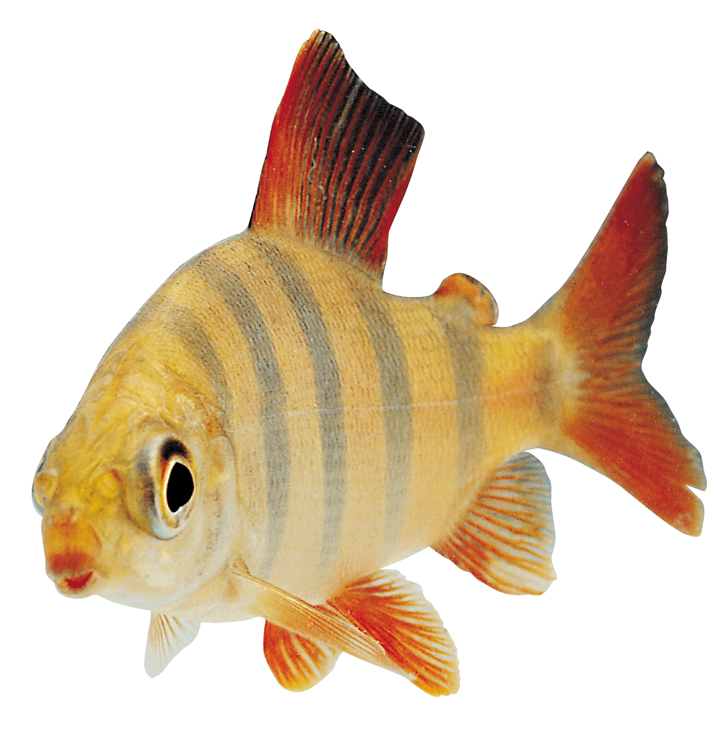 Fish Orange Sideview Transparent Png Stickpng