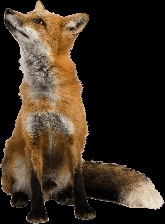 Fox looking up transparent png stickpng - Clipart renard ...
