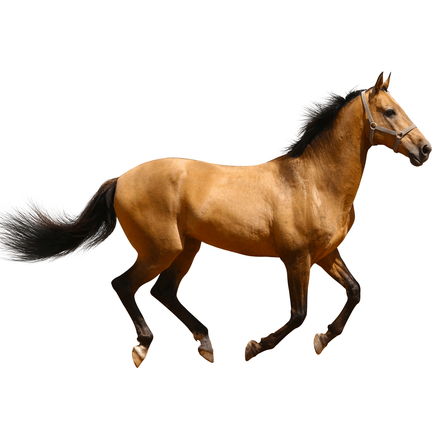 mustang horse side view. horse running brown sideview mustang side view w