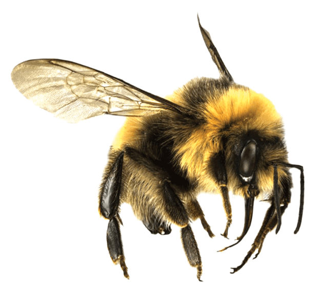 Bee Large Transparent PNG