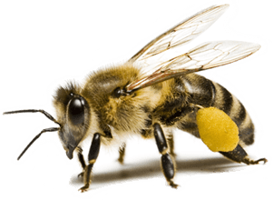 Resultado de imagen de abejas png