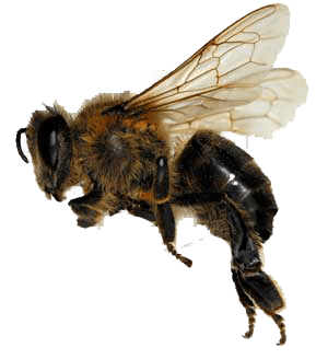 Sideview Bee Transparent PNG