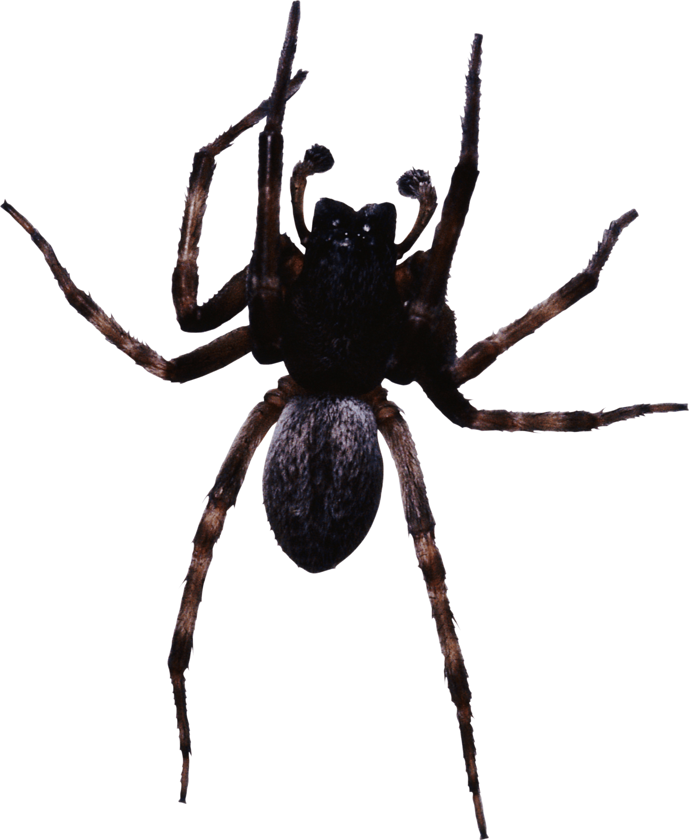 Large Black Spider Transparent Png Stickpng To view the full png size resolution click on any of the below image thumbnail. stickpng