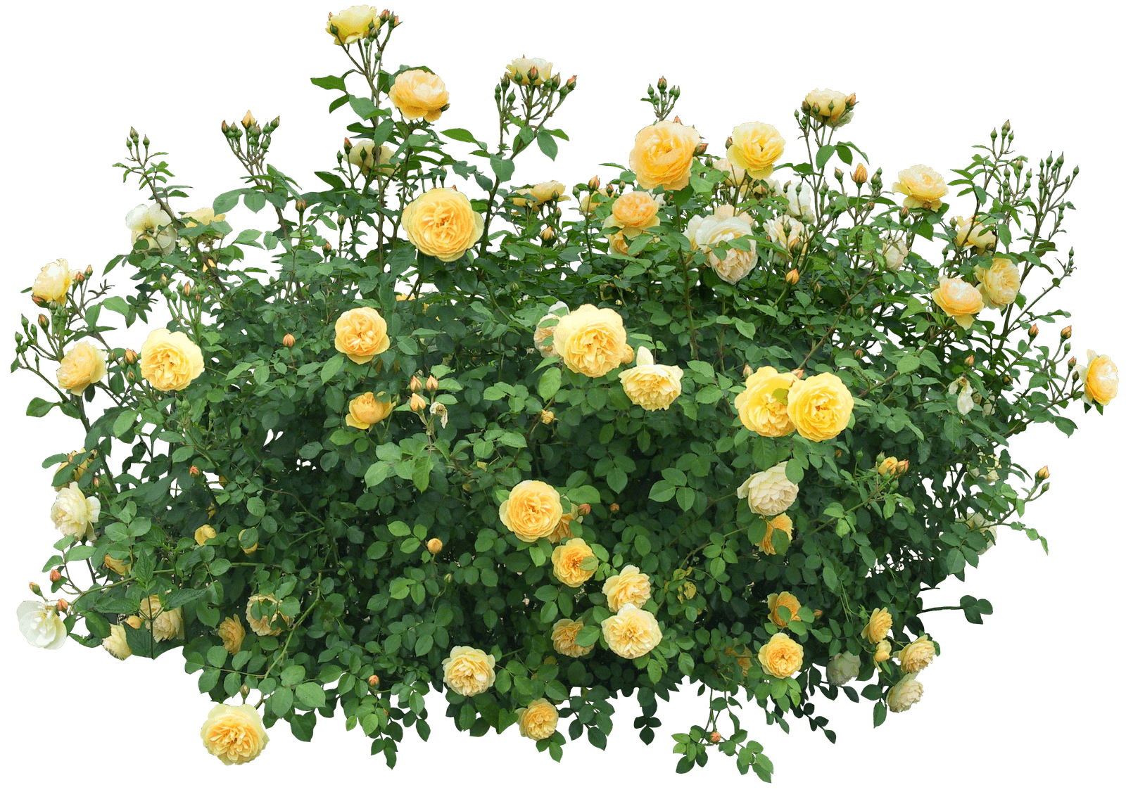 Yellow Roses Bush transparent PNG - StickPNG for Plant Transparent Png  58lpg