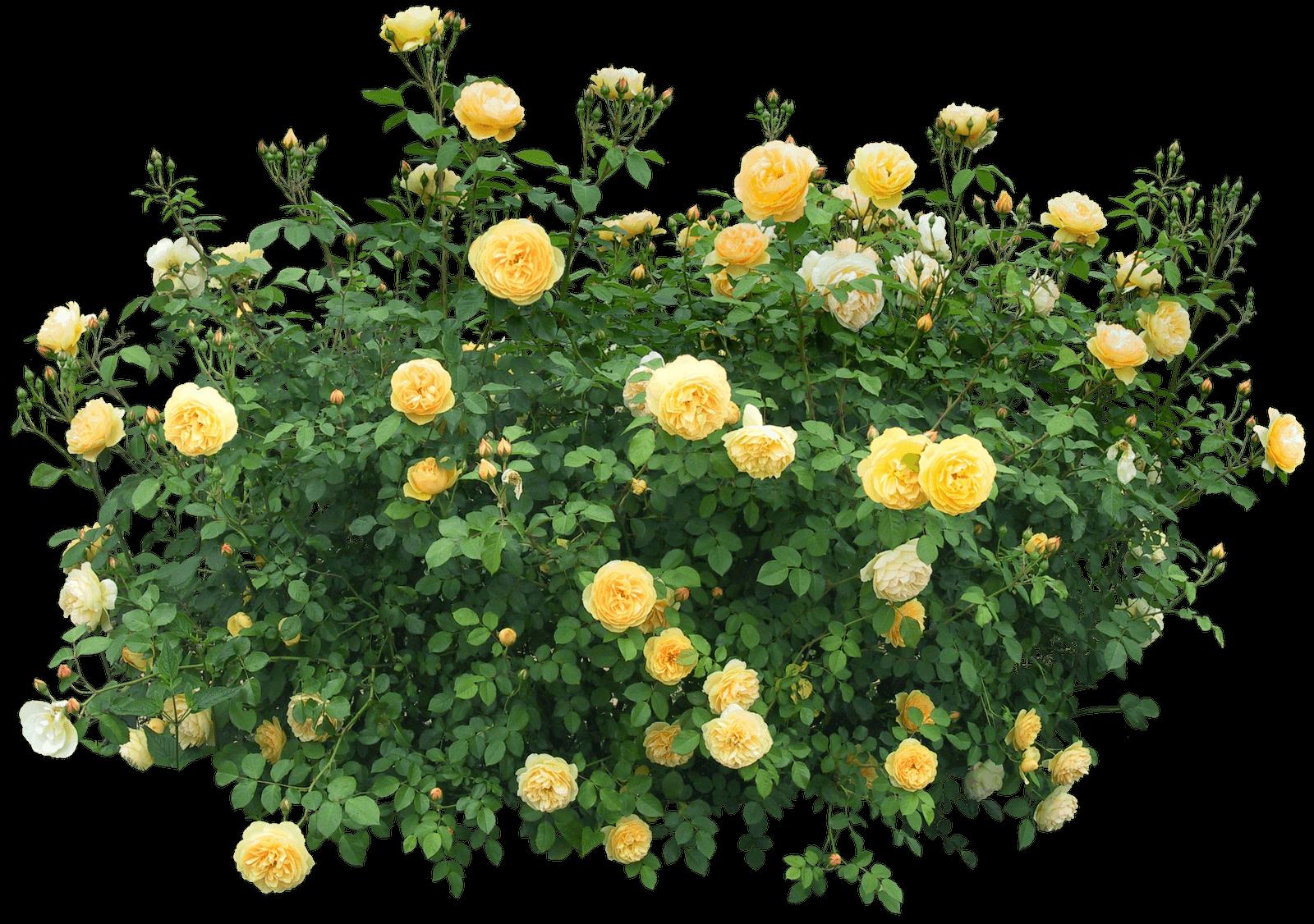 Yellow Roses Bush transparent PNG - StickPNG for Plant Transparent Png  58lpg