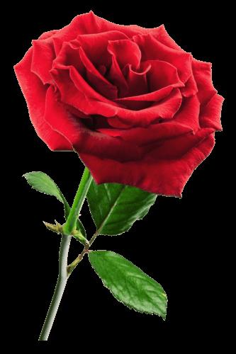 Red Rose Transparent Png Stickpng