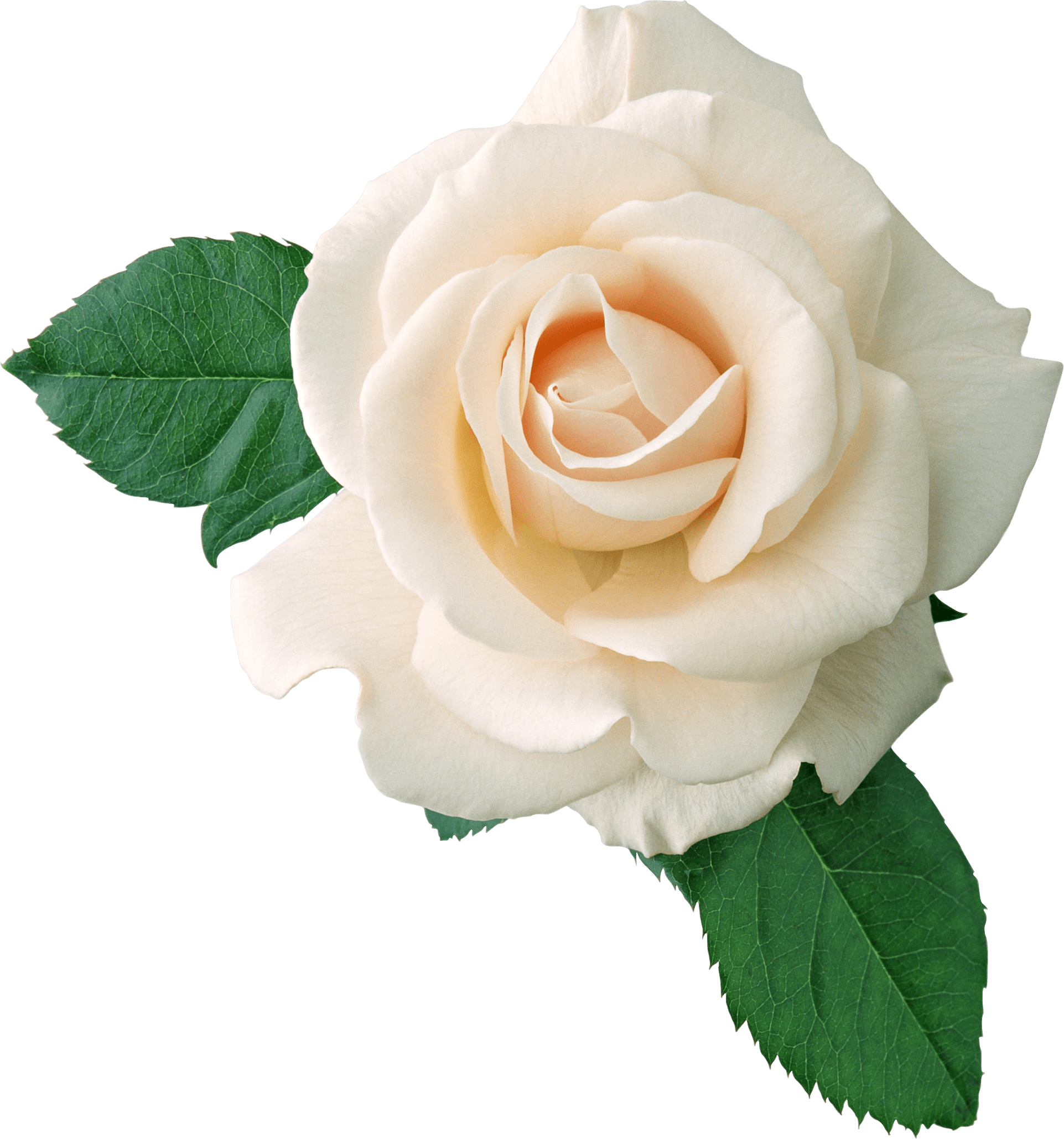 White Rose On Leaves Transparent Png Stickpng