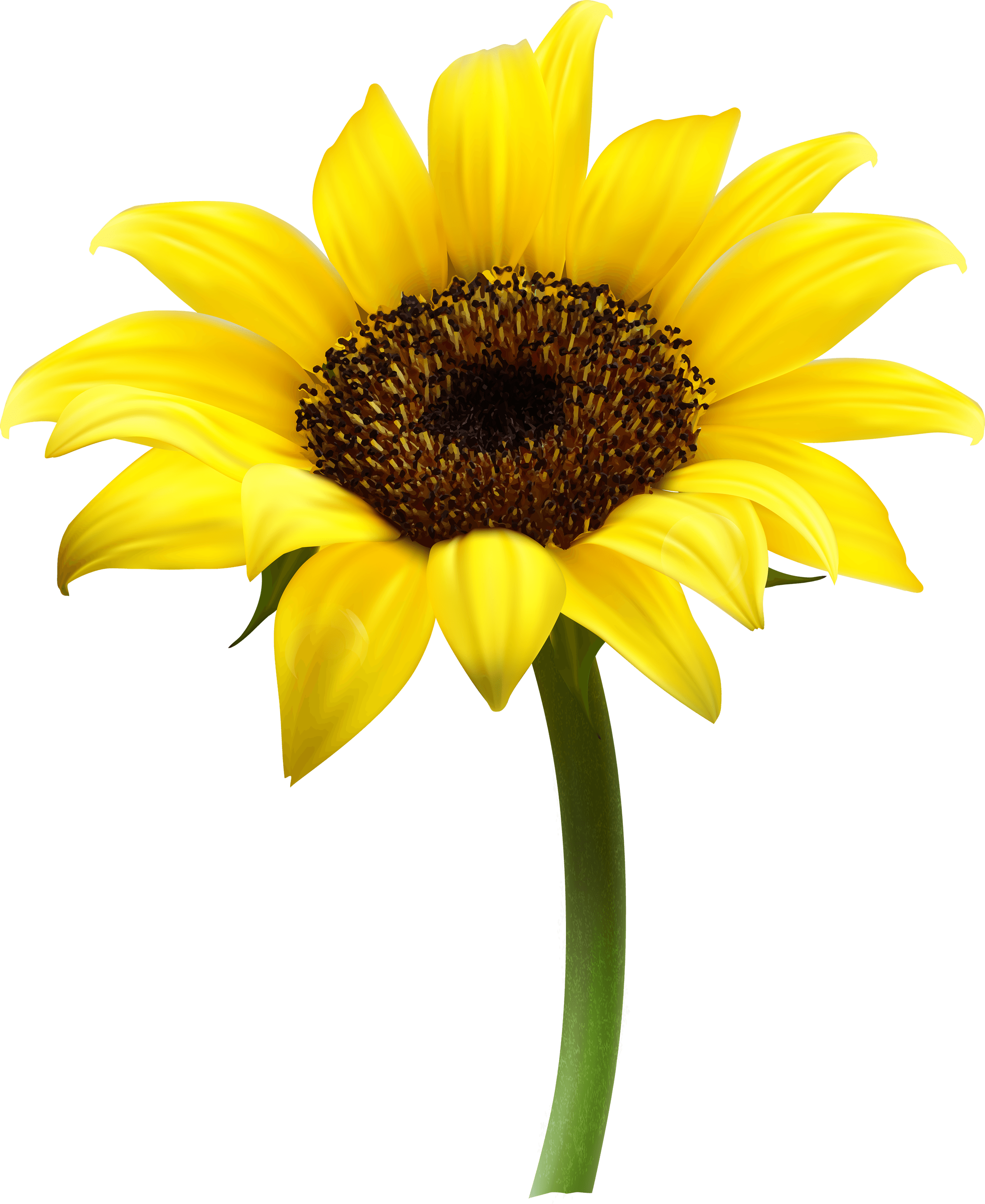 sunflower single transparent png stickpng
