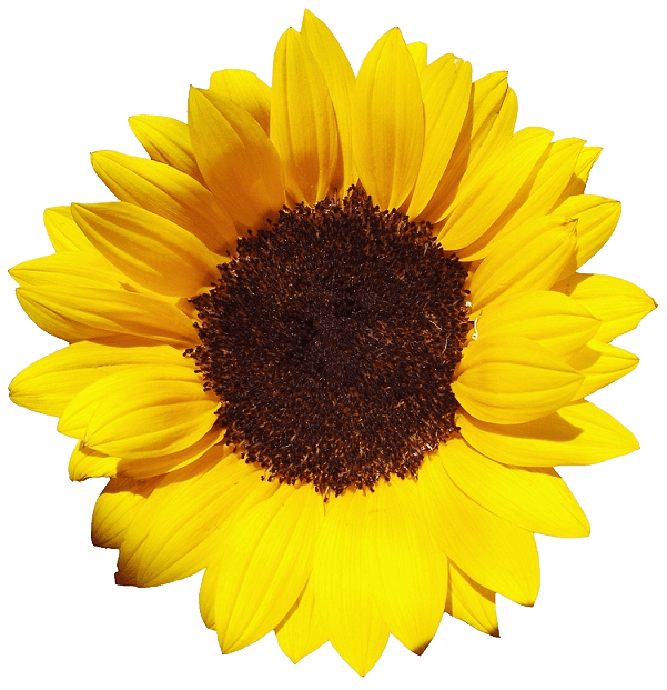 Sunflower Large transparent PNG - StickPNG
