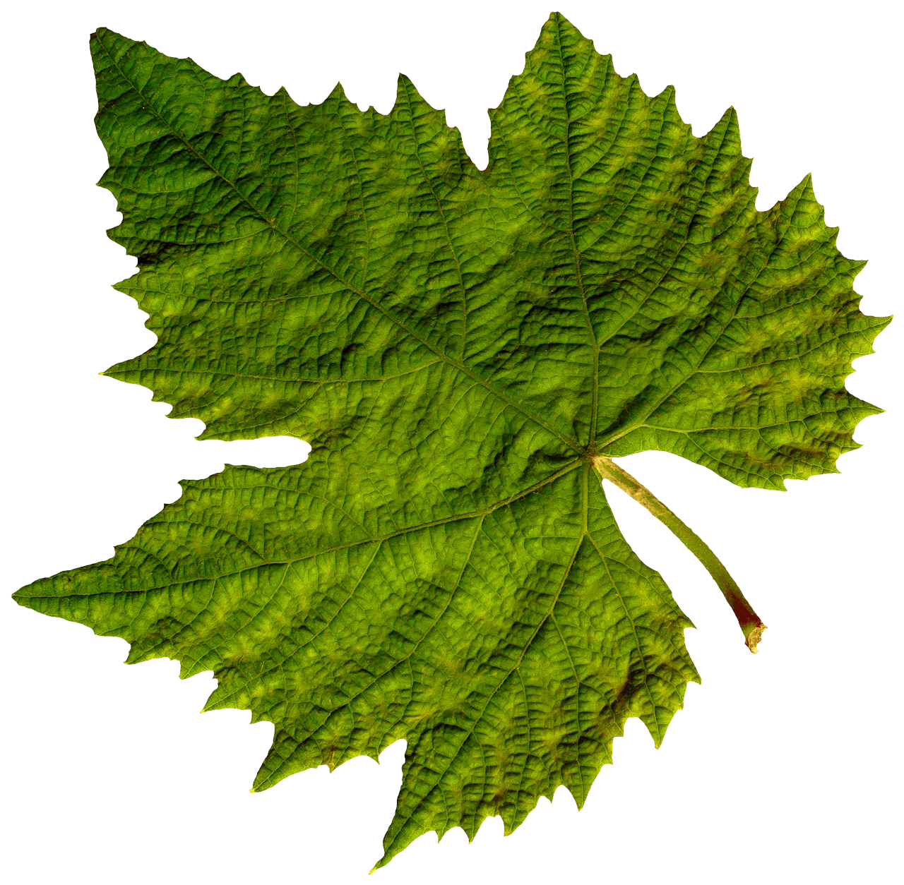 Isolated Green Leaf transparent PNG - StickPNG