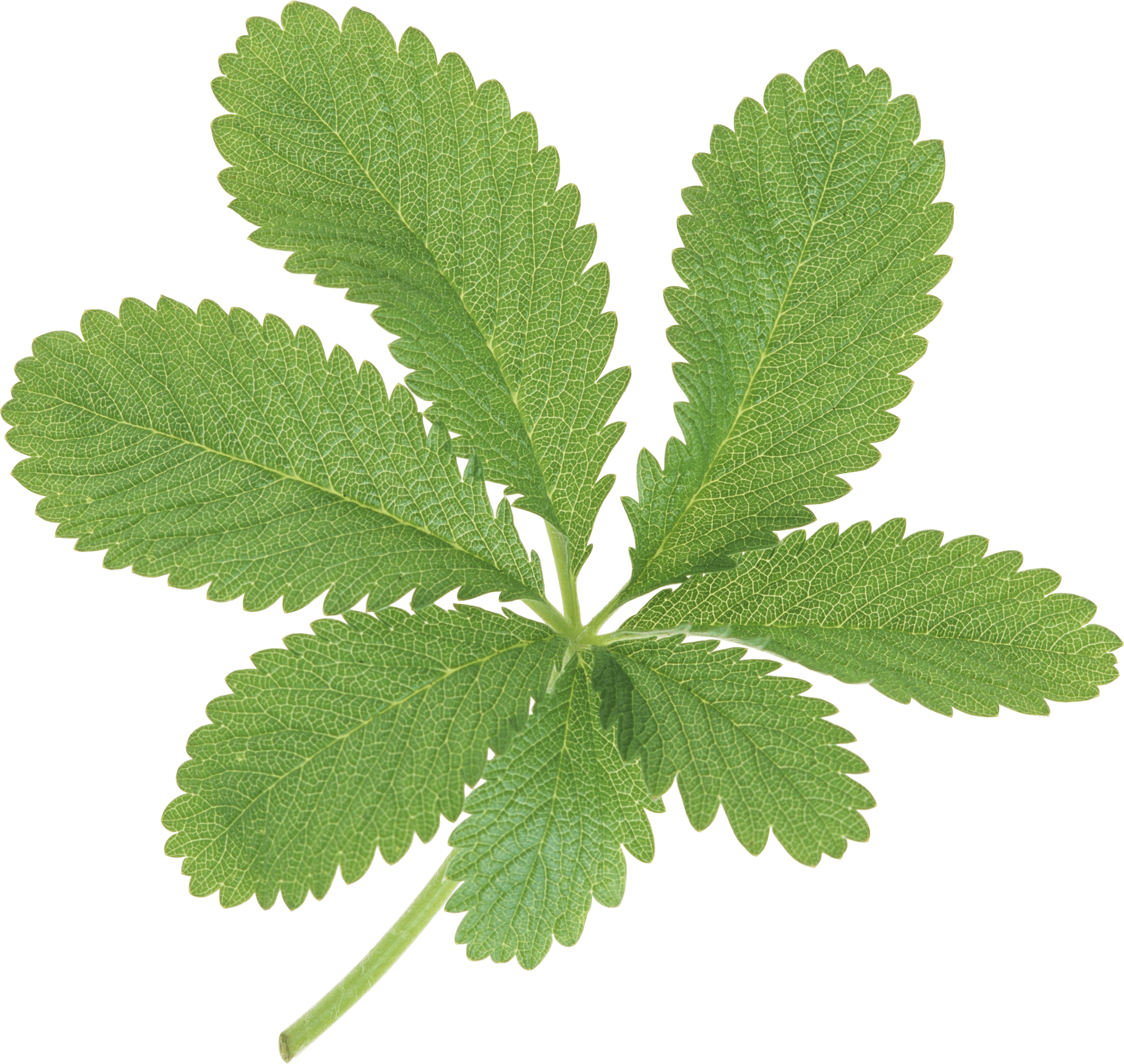 Large Green Leaves transparent PNG - StickPNG for Plant Transparent Png  555kxo