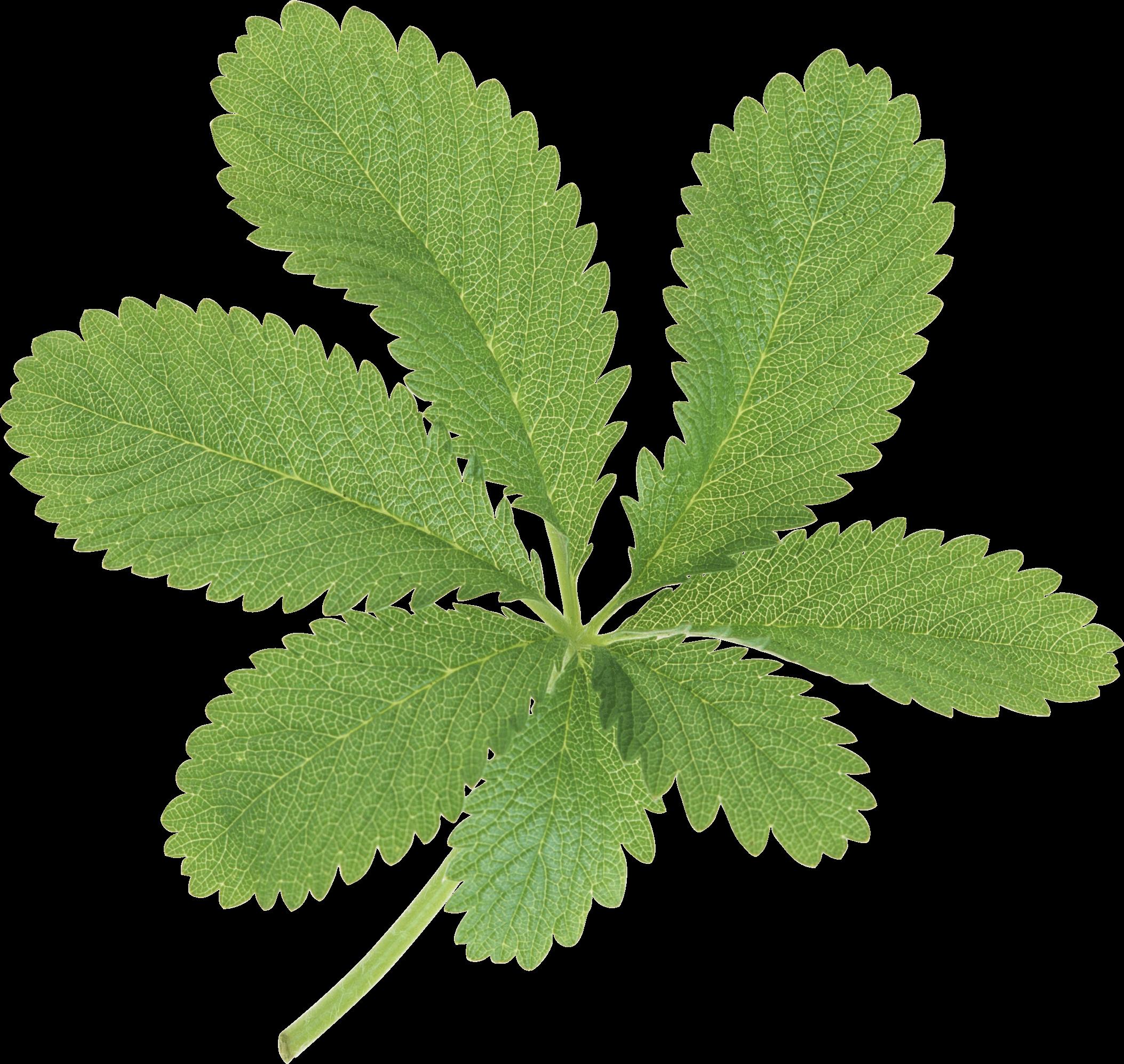 Large Green Leaves transparent PNG - StickPNG for Plant Transparent Png  555kxo