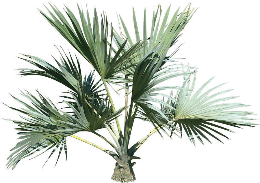 Top Palm Tree transparent PNG - StickPNG