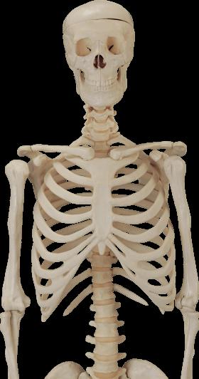 Body Skeleton transparent PNG - StickPNG