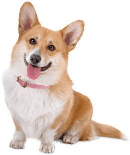 Corgi Dog Rescue Texas