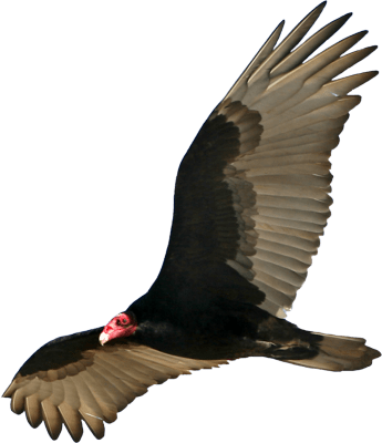 vulture open wings transparent png stickpng