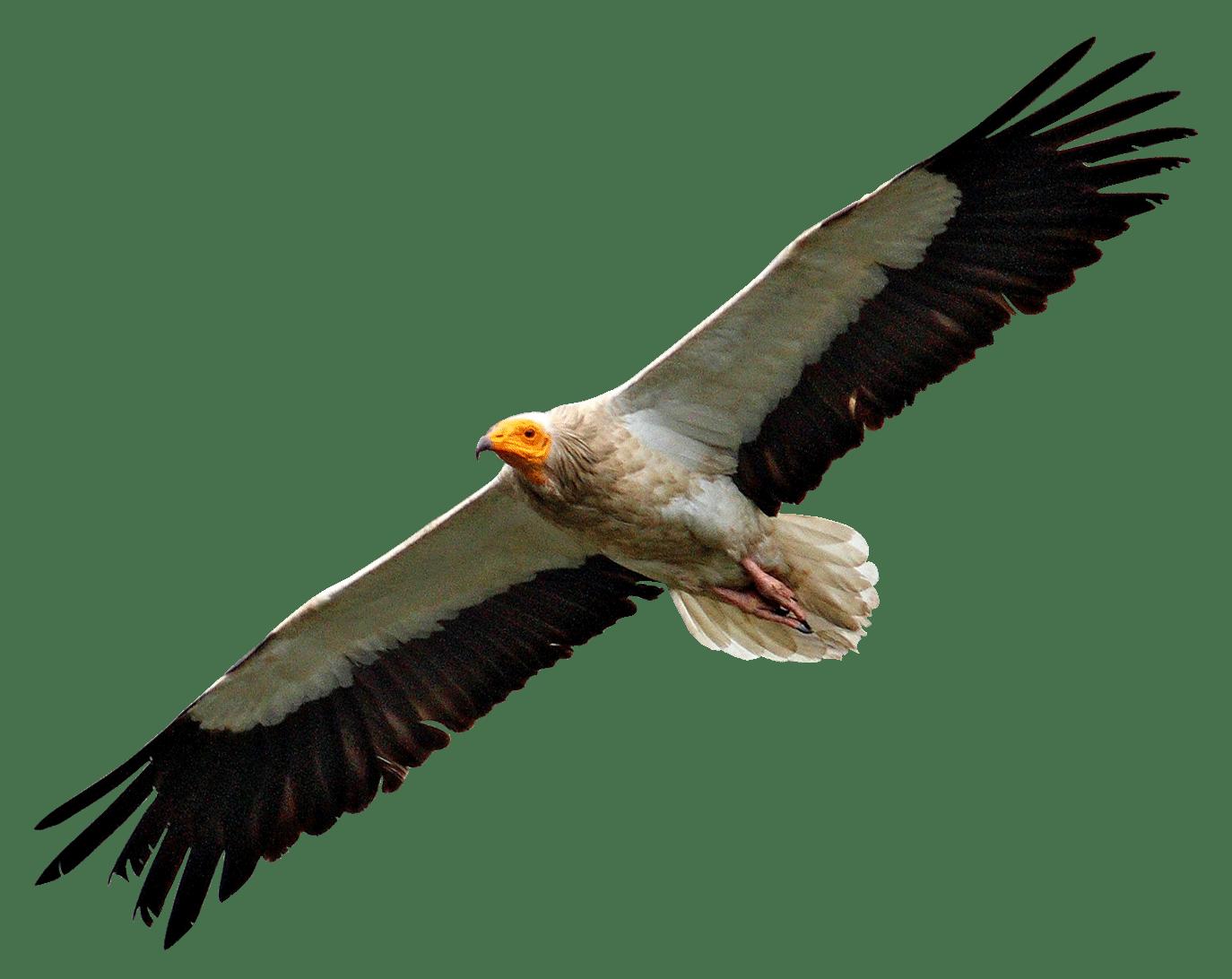 egyptian vulture flying transparent png stickpng