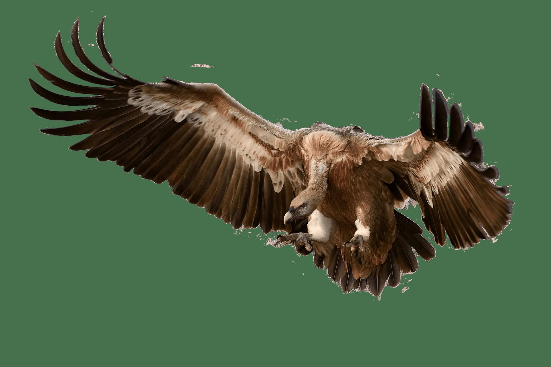 vulture attacking its prey transparent png stickpng