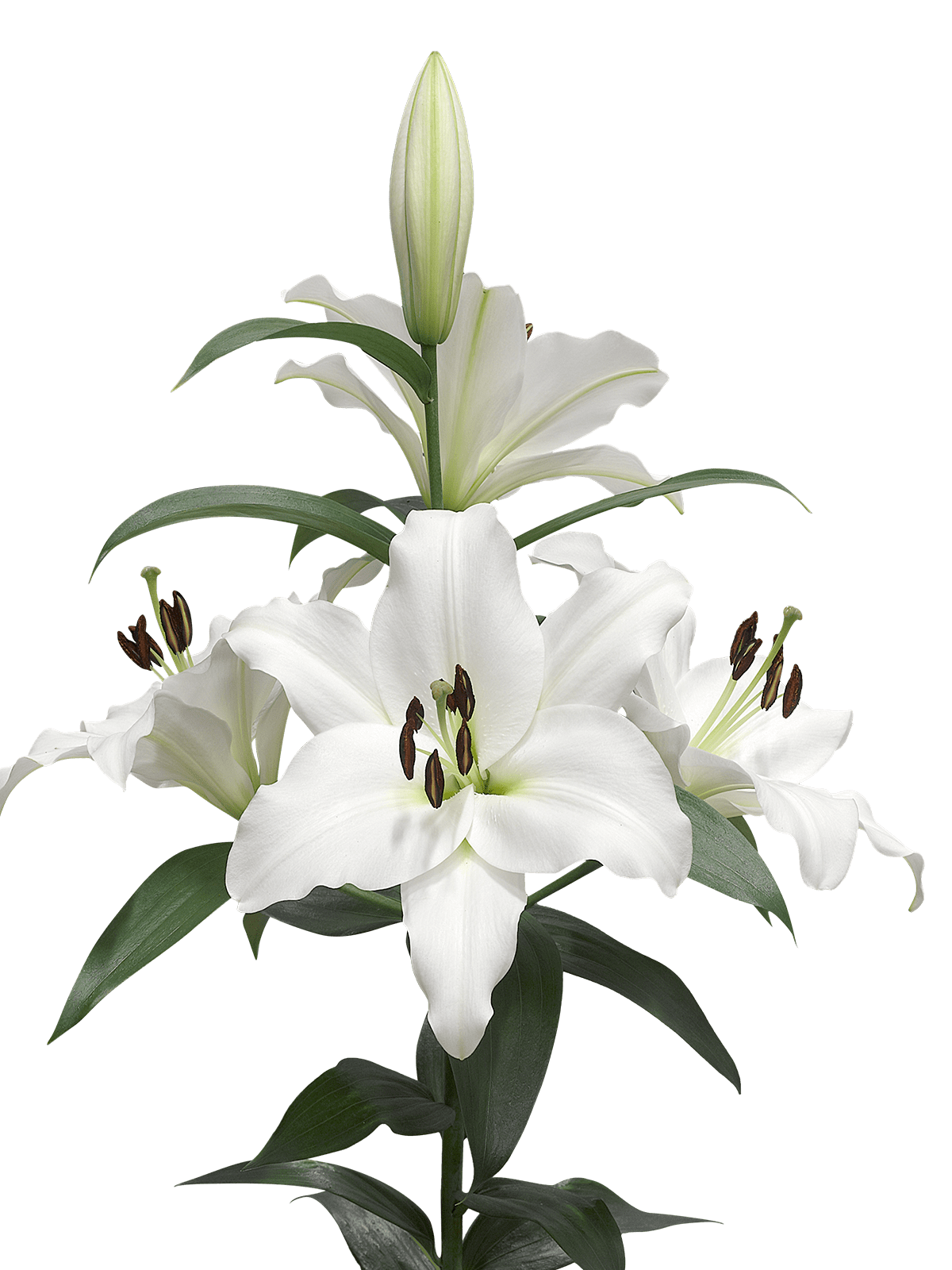 white lily clip art � cliparts