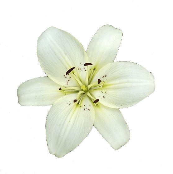 White Lily Flower Transparent PNG