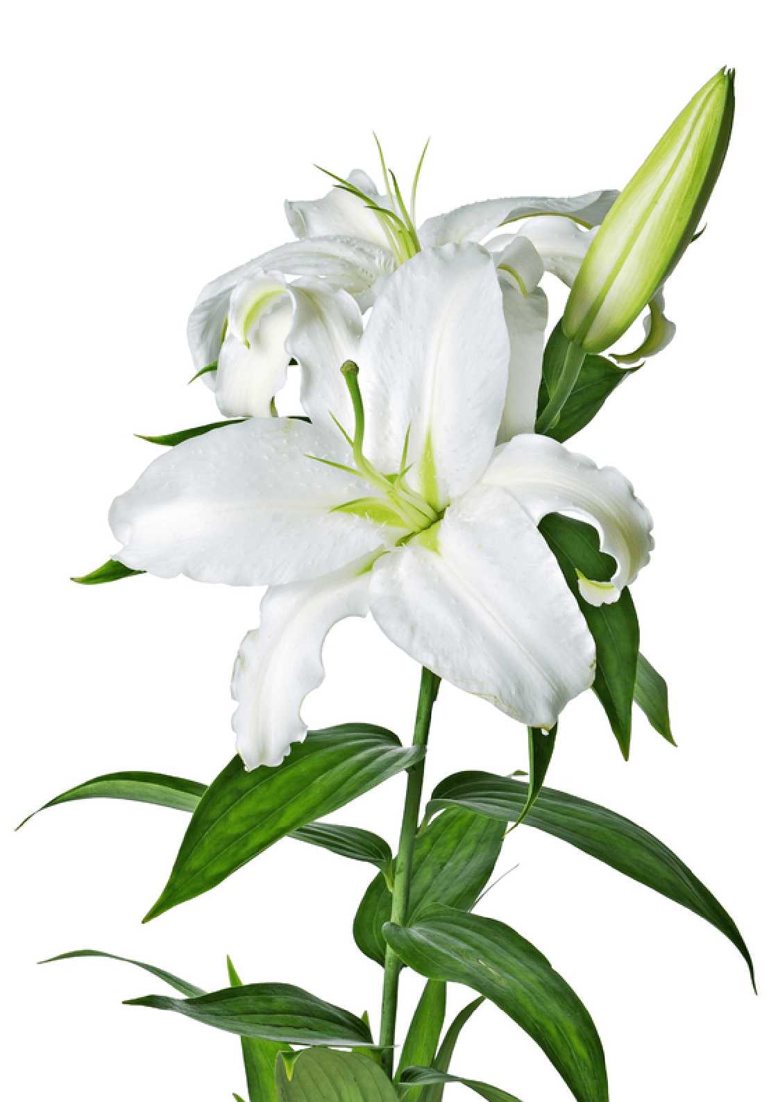 White Lily Flower transparent PNG - StickPNG