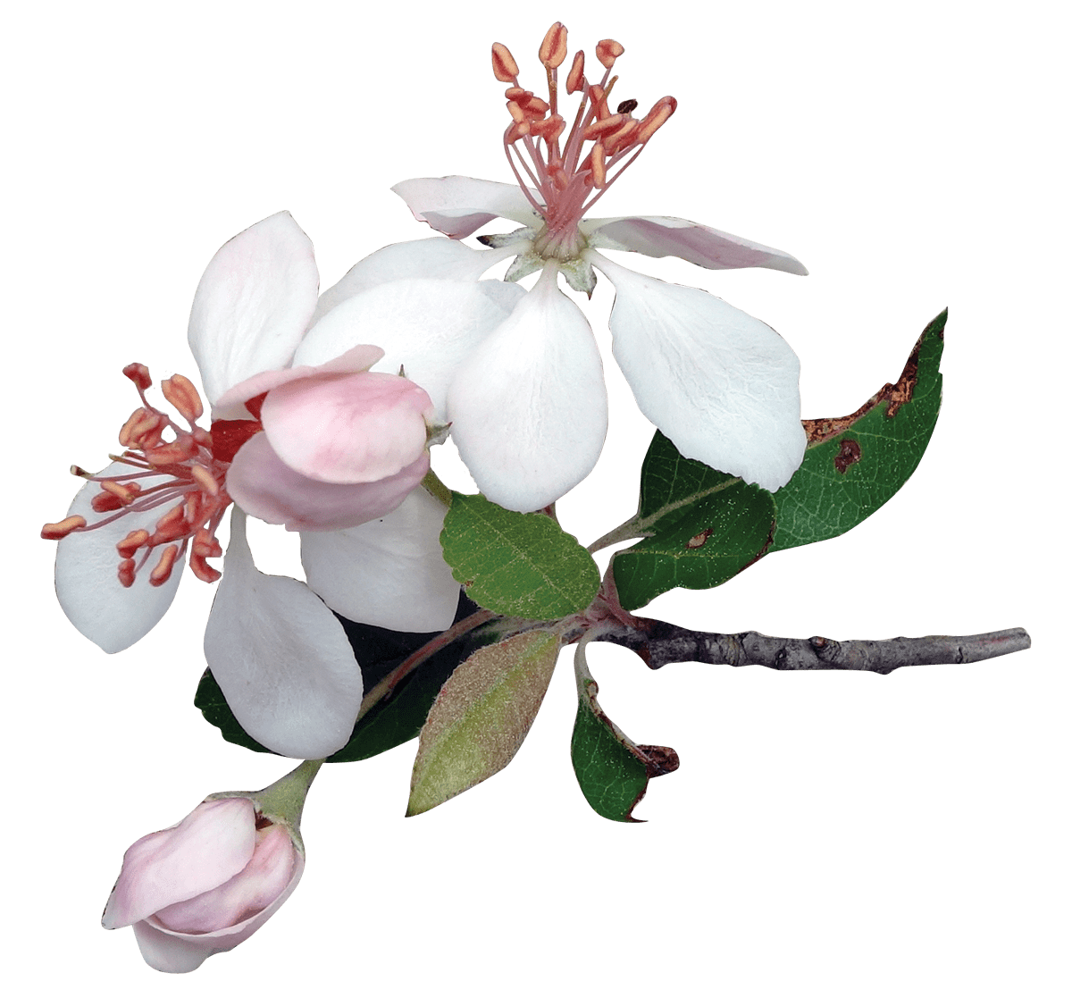 Japanese Flowers On Tree Transparent PNG
