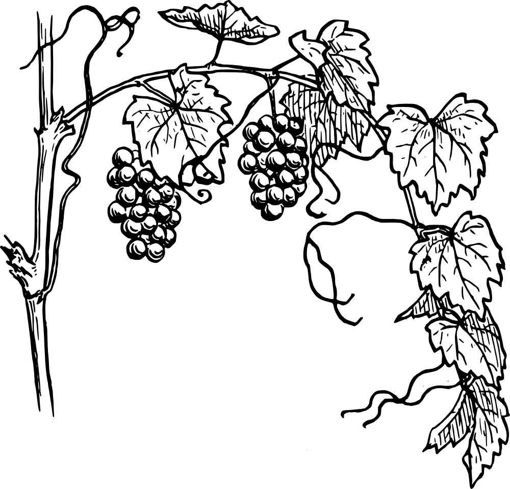grapevine clipart transparent png stickpng rh stickpng com grapevine pattern clipart wine grape vine clipart