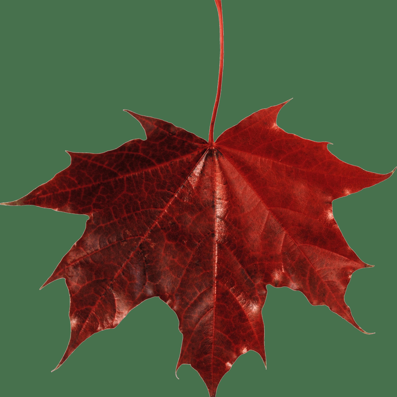 maple leaf canada transparent png stickpng