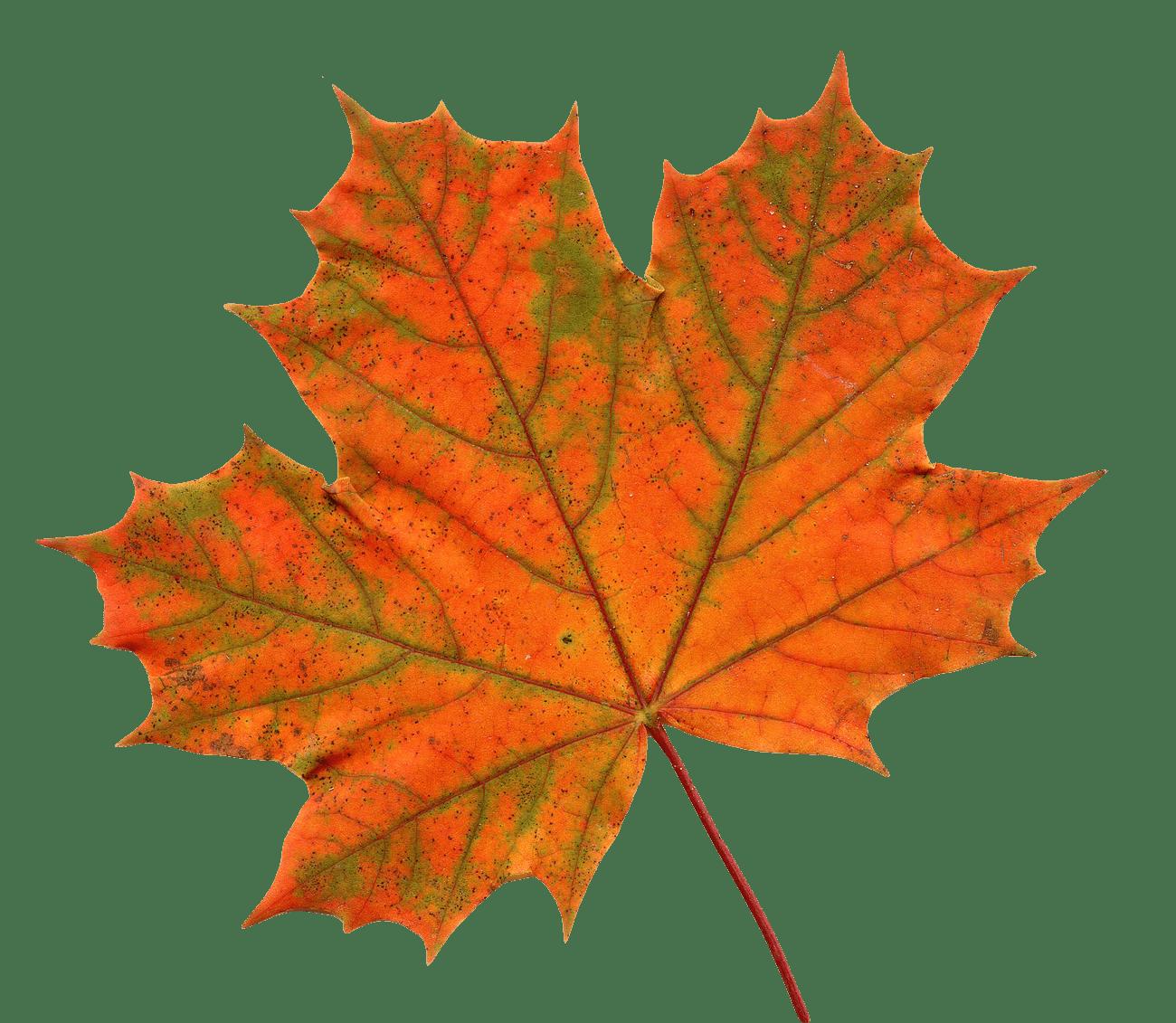 Large Maple Leaf Transparent Png Stickpng