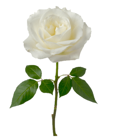 Single White Rose Transparent Png Stickpng