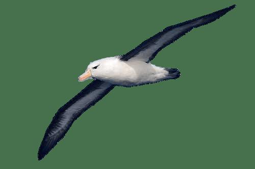 Resultado de imagen para albatross png