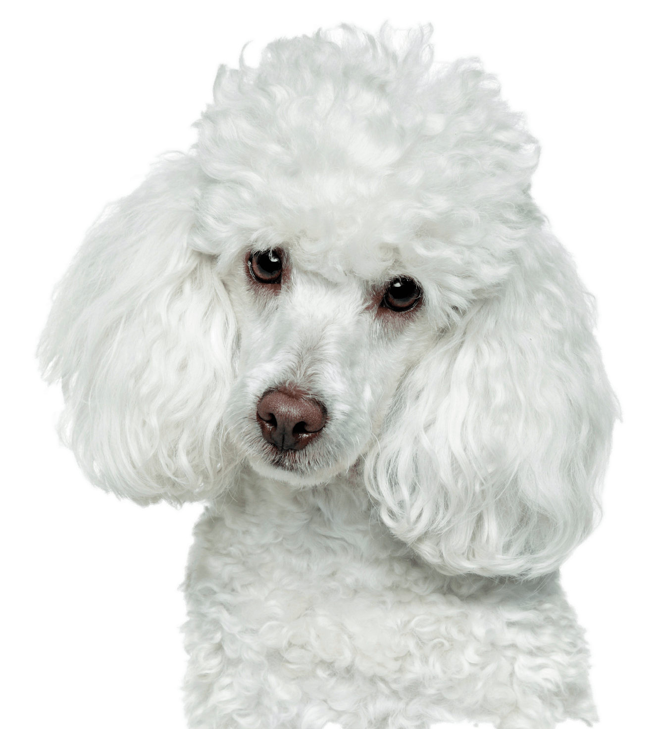 White Poodle Head Transparent Png Stickpng