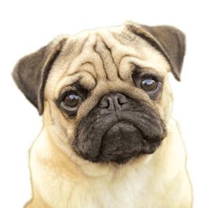 Adorable Transparent Background Pug Png