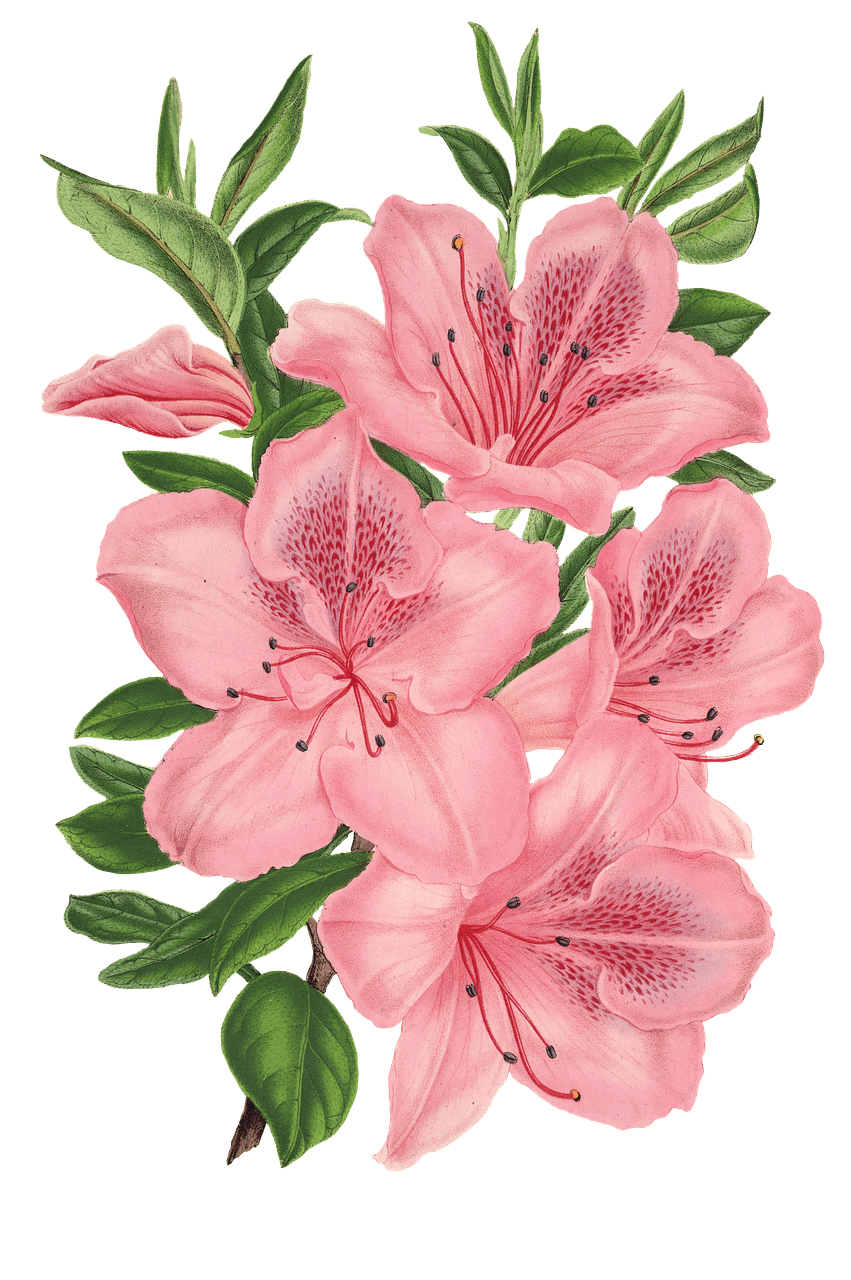 Pink Bunch Of Flowers Drawing Transparent Png Stickpng