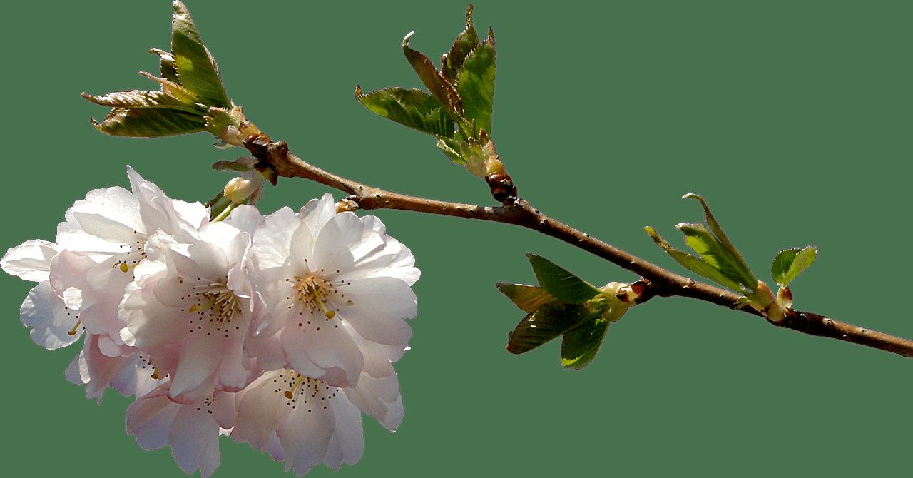 Primavera Ramo En Flor Png Transparente Stickpng